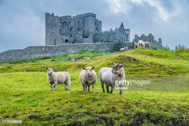 sheep at rock of cashel ireland - republic of ireland stock pictures, royalty-free photos & images
