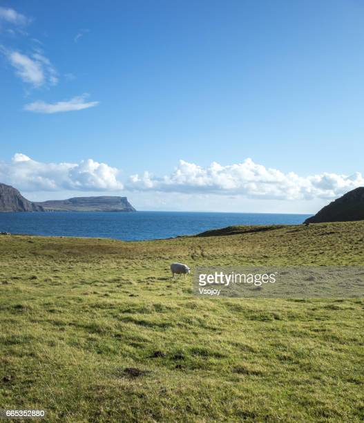 a sheep at the coastline, glendale, isle of skye, scotland - vsojoy stock pictures, royalty-free photos & images