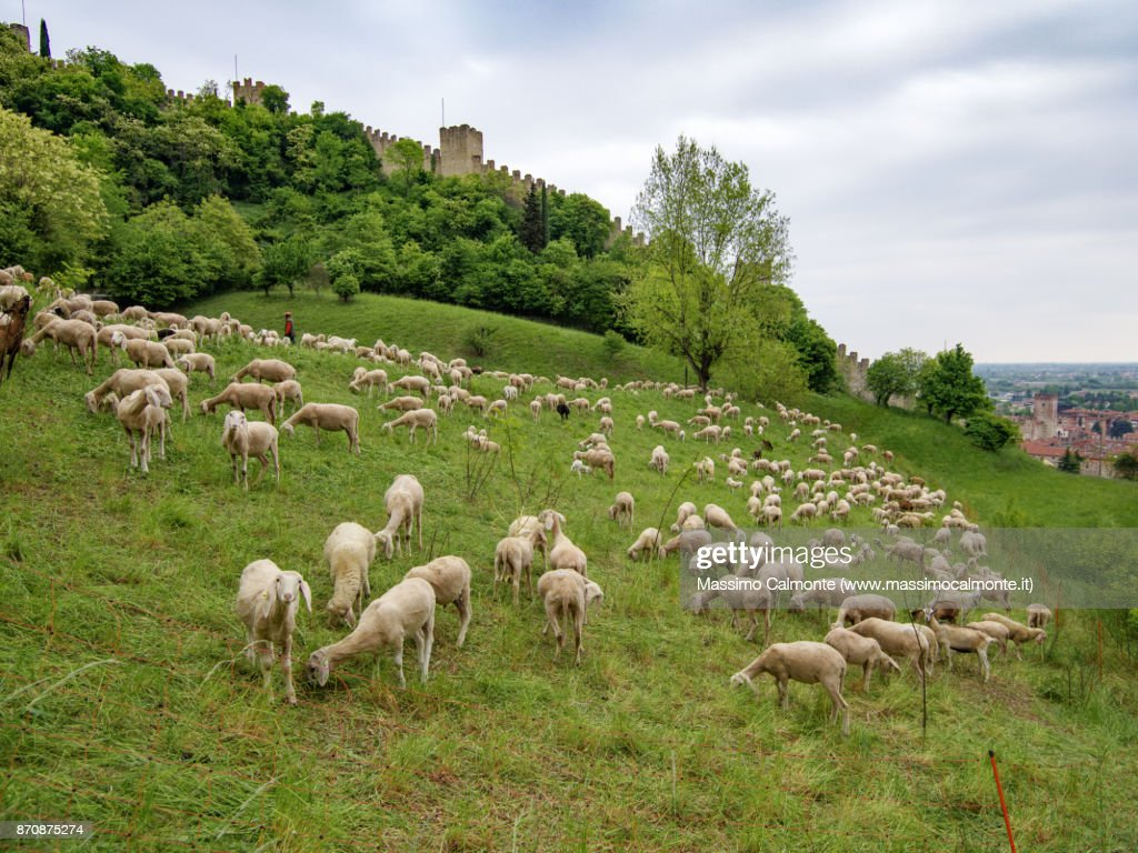 Sheep At The Foot Of The Medieval Castle Of Marostica Stock Photo
