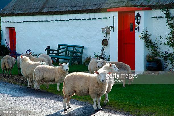 Sheep at traditional cottage in Malin Head, Donegal, Ireland