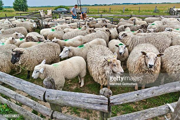 Sheep awaiting shearing
