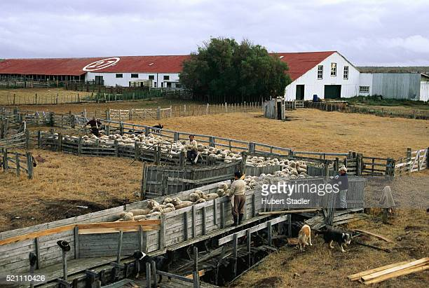 Sheep Being Herded on a Farm