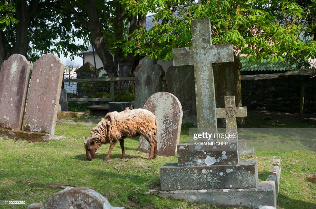 Sheep being used to graze in a rural churchyard to keep the graves neat and tidy and well trimed : Stock Photo