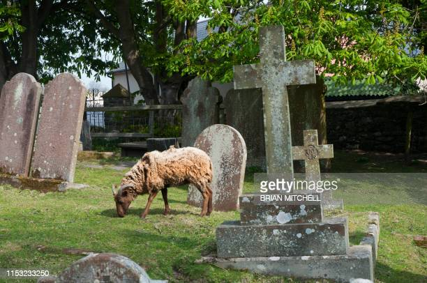sheep being used to graze in a rural churchyard to keep the graves neat and tidy and well trimed - grabstein stock-fotos und bilder