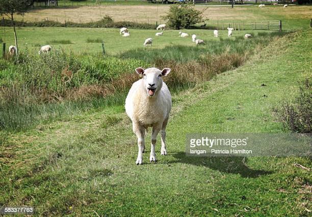 Sheep bleating