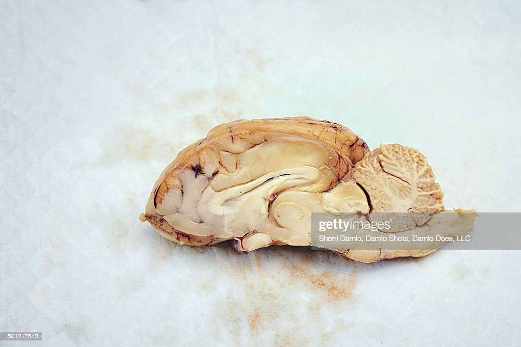 Sheep brain dissection : Stock Photo