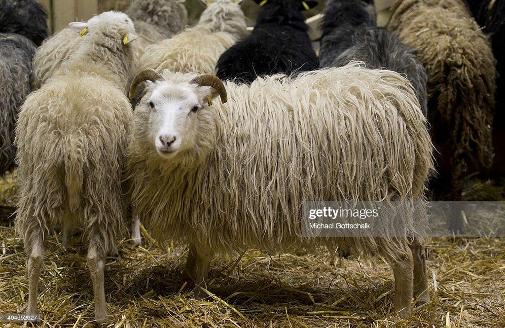 White Sheep : News Photo