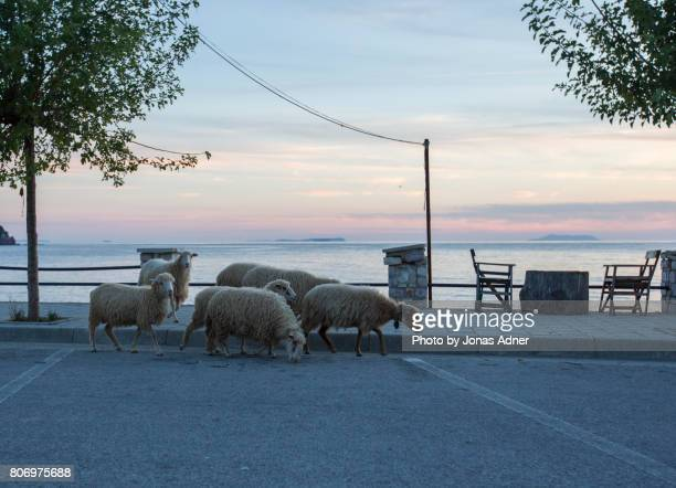 Sheep by the see