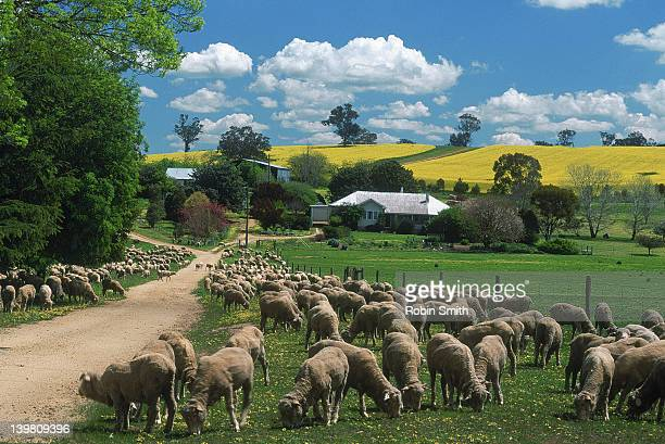 sheep, canola, homestead, murrumburrah area, nsw - new south wales stock pictures, royalty-free photos & images
