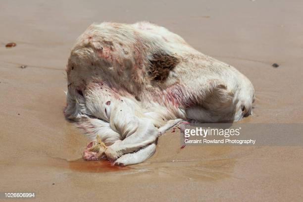 Sheep Carcass, Senegal