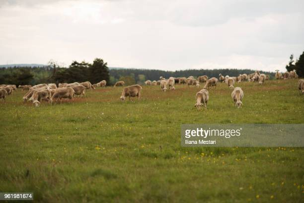 Sheep cattle outdoors