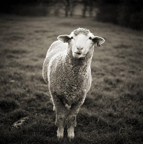 Sheep Chewing Cud Wall Art