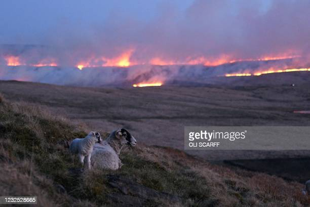 Sheep climb the hillside as flames from a moor fire are seen on Marsden moor, near Huddersfield in northern England on April 25, 2021.