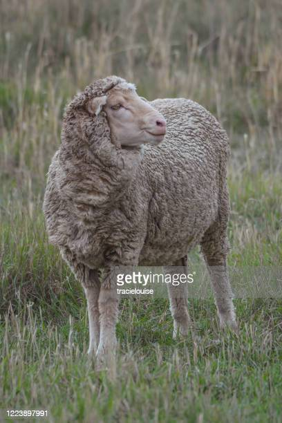 sheep close up - one animal stock pictures, royalty-free photos & images