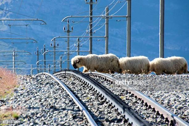 Sheep crossing railway tracks of Gornergrat train
