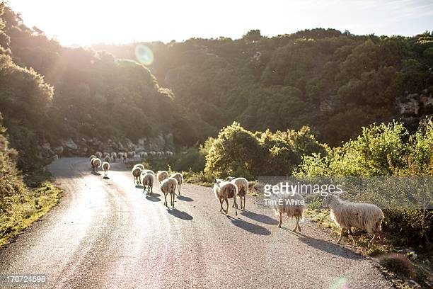 Sheep crossing road, Crete, Greece
