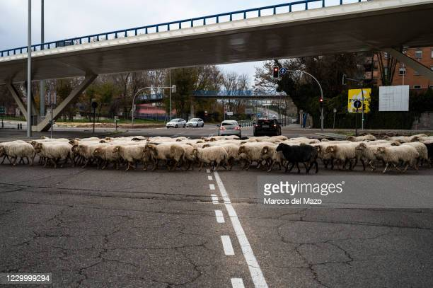 Sheep crossing the streets of Madrid. A flock of 250 sheep have arrived to Madrid from the mountains to spend the winter in Casa de Campo as part of...