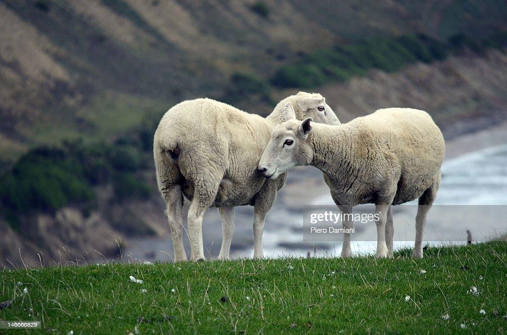 Sheep cuddles : Stock-Foto