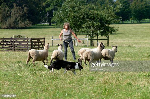 Sheep dog trials sheperd competition