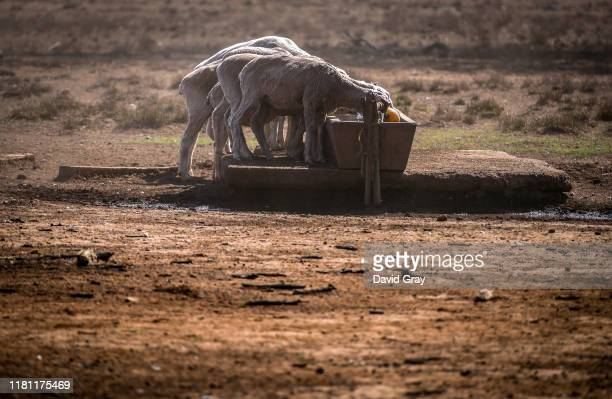 Sheep drink from a water trough after eating feed that Australian farmer Richard Gillham dropped in a drought-affected paddock on his property...