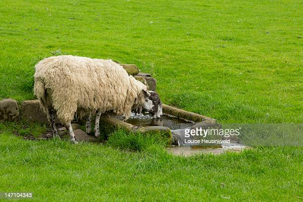 sheep drinking from a stone trough - 飼い葉桶 ストックフォトと画像