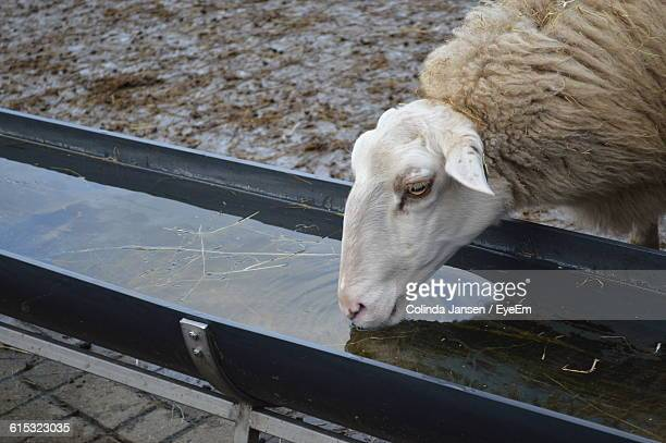 Sheep Drinking From Trough