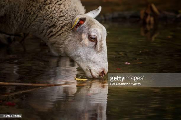 sheep drinking water at lakeshore - per grunditz stock pictures, royalty-free photos & images
