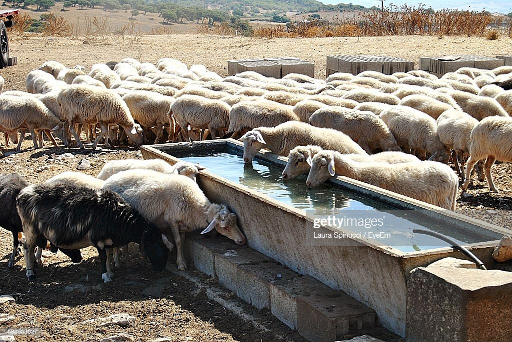 Sheep Drinking Water From Trough On Field : Stock Photo