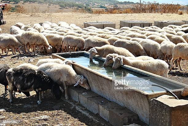 Sheep Drinking Water From Trough On Field