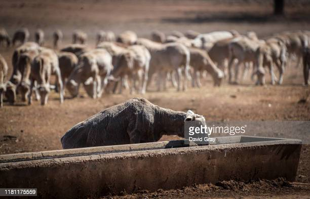 Sheep drinks from a water trough after eating feed that Australian farmer Richard Gillham dropped in a drought-affected paddock on his property...