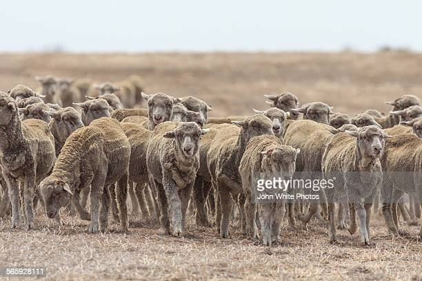 sheep during a drought. australia. - drought stock pictures, royalty-free photos & images