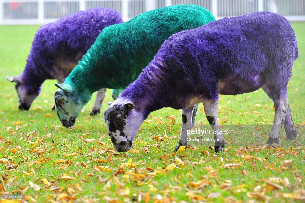 Sheep dyed the colours of the Web Summit are seen during the second day of the 2015 Web Summit on November 4, 2015 in Dublin, Ireland. The Web Summit is now in it's 4th year and is technology's most global gathering. In numbers, it has 42,000 attendees from 134 countries, 1,000 speakers, 2,100 startups and 1,200 media.