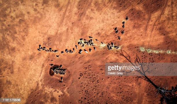 Sheep eat feed that Australian farmer Richard Gillham dropped in a drought-affected paddock on his property 'Barber's Lagoon' located on the...