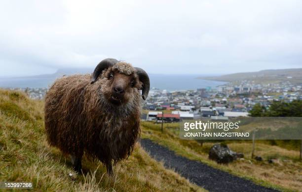 A sheep eats grass at the Streymoy Island Torshavn Island on October 12 2012 The Faroe Islands are known for its fishing and sheep farming as the...