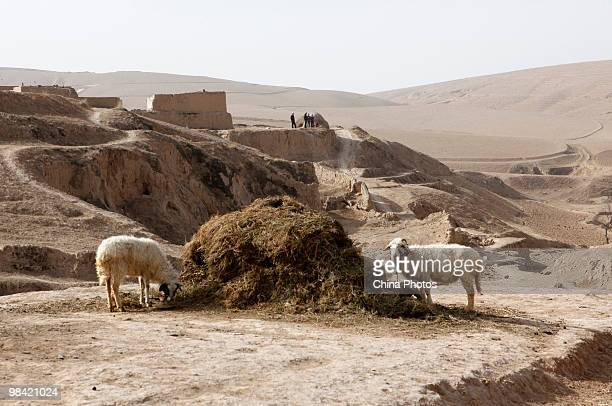 Sheep eats hay on March 12 2010 in Xihaigu Tongxin County of Ningxia Hui Autonomous Region north China Xihaigu is the general name for the area...