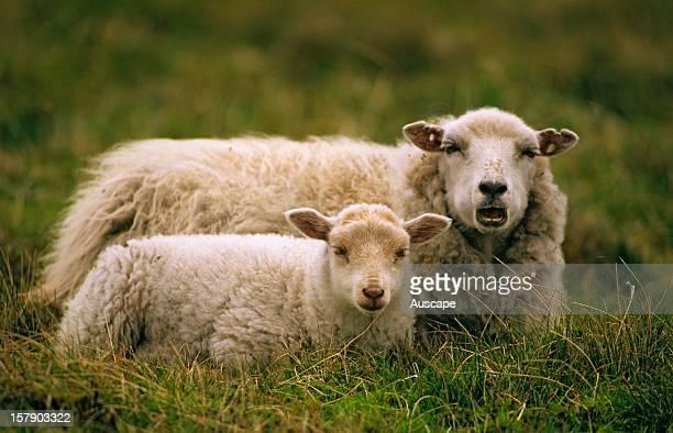 Sheep ewe and lamb Shetland Islands Scotland United Kingdom
