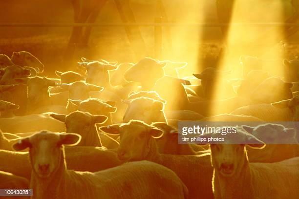 Sheep Eyre Peninsula South Australia