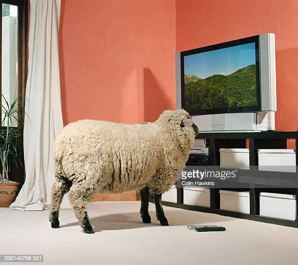 Sheep facing television screen, indoors
