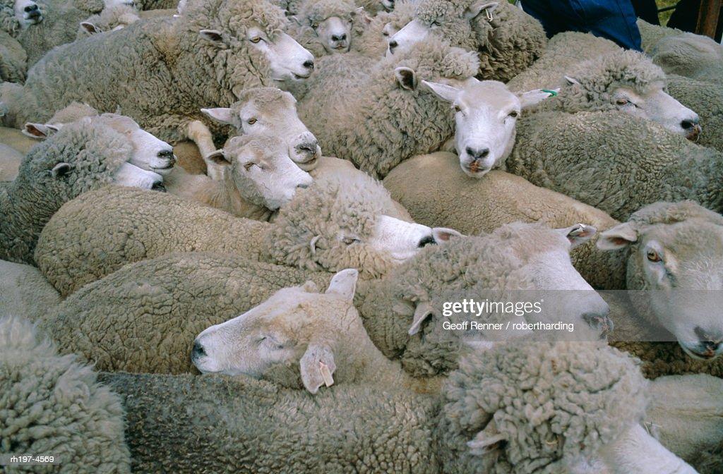 'Sheep, Falkland Islands, South America' : Foto de stock