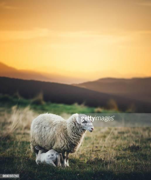 sheep family - agnellino foto e immagini stock
