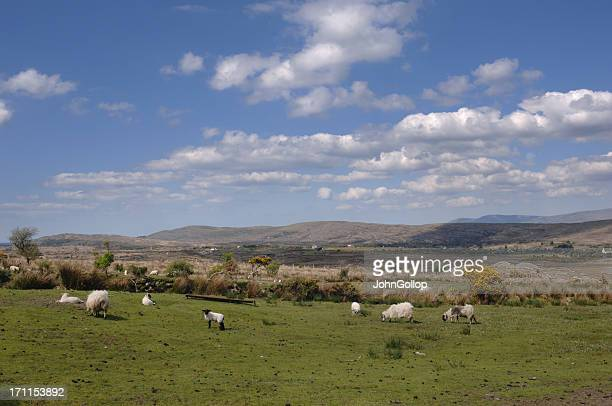 sheep farm - county cork stock pictures, royalty-free photos & images