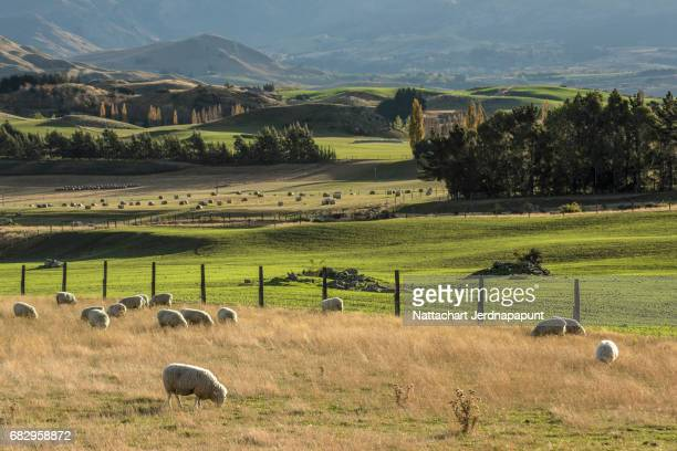 sheep farm with grassland in scenic view at new zealand - região de canterbury nova zelândia - fotografias e filmes do acervo