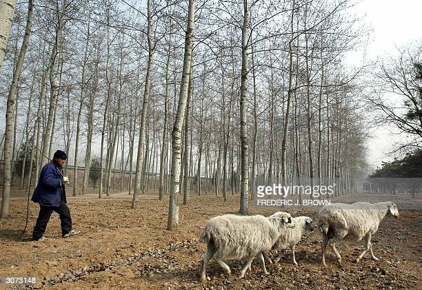 Sheep farmer Cao Xiudong reins in his straying flock 09 March 2004 on the outskirts of Beijing China's farmers have been left behind as city dwellers...