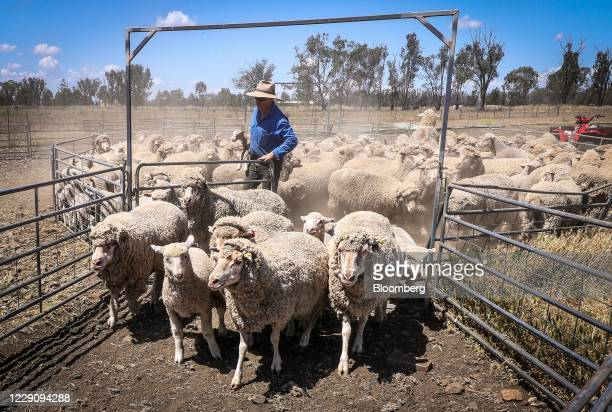 Sheep farmer herds sheep into a catching pen for shearing at a farm near Gunnedah, New South Wales, Australia, on Tuesday, Oct. 13, 2020. Farmers in...
