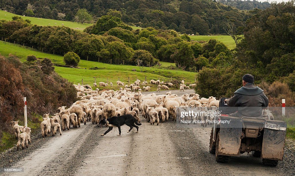Sheep Farmer : Stock Photo