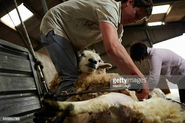 sheep farmer shearing sheep