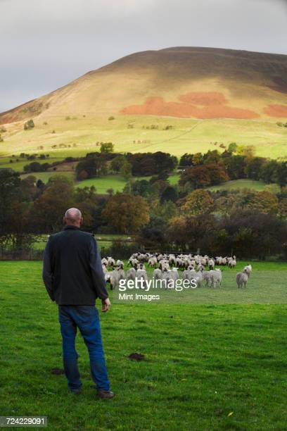 Sheep farmer, shepherd standing on a meadow watching a large flock of sheep, hills in the distance.