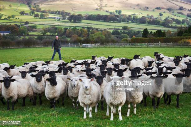 Sheep farmer standing on a meadow watching over a large flock of sheep, hills in the distance.