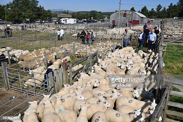 Sheep farmers gather at Lairg auction for the great sale of lambs on August 16 2016 in Lairg Scotland Lairg market hosts the annual lamb sale which...