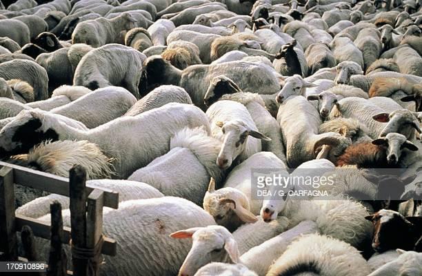 Sheep farming, Abruzzo, Lazio and Molise National Park, Abruzzo, Italy.